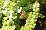 2013_08_21_honeybee_01