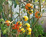 2013_09_26_tomato_2